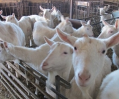 Saanen goats in the farm's pens, waiting for their dinner.
