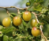 Gooseberries on the bush.